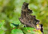 Butterfly (Polygonia C-album) — Stock Photo