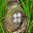 Nest of bunting — Stockfoto