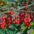 Barberry — Stock Photo #35857675
