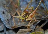 Grasshopper on leaf — Stock Photo