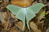 Night butterfly (Actias artemis) — Stock Photo