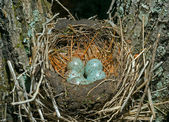 Nest of thrush — Stock Photo