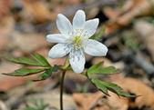 Flower of anemone — Stock Photo