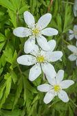 Flowers of anemone — Zdjęcie stockowe