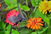 Butterfly (Papilio maackii) — Stock Photo