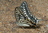 Butterfly (Papilio xuthus) — Stock Photo