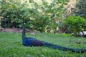A peacock — Stock Photo