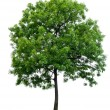 Isolated tree — Stock Photo #12621382