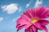 Gerber daisy viola — Foto Stock