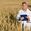 Quality control before wheat harvest — Stock Photo