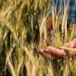 Farmer hand in wheat field - Stock Photo