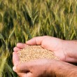 Hands full of wheat seeds — Stock Photo #12660461