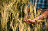 Farmer hand in wheat field — Stok fotoğraf