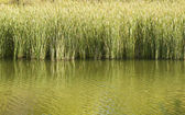 Reeds in a pond for texture — Stock Photo