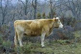 Brown cow in a praire — Stock Photo