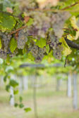 Rias Baixas vineyard — Stock Photo