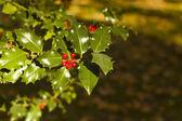 Holly Tree background — Stock Photo