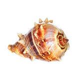 Sea shell macro — Stock Photo