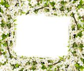 Apple flowers background — Stock Photo
