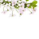 Apple pink flowers branch — Stok fotoğraf