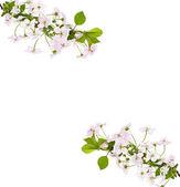Apple pink flowers branch — Foto de Stock