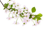Apple flowers branch on a white background — Stockfoto