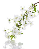 Apple flowers branch on a white background — Stock Photo