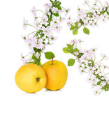 Apple and apple blossom,  flowers branch isolated — Stock Photo