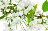Apple flowers branch on a white background — Stok fotoğraf