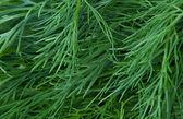 Fresh green dill. Background — Stock fotografie