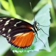 Stock Photo: Butterfly - Postm(Heliconius melpomene)