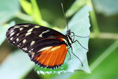 Butterfly - Postman (Heliconius melpomene) — Stock Photo
