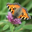 Butterfly - Small Tortoiseshell - Stock Photo