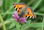 Butterfly - Small Tortoiseshell — Stock Photo