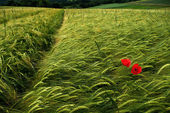 Barley fields with poppy flowers — Stock Photo