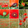 Poppy flower collage — Stock fotografie