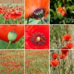 Poppy flower collage — Stock Photo