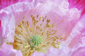 Pink poppy flower — Stock fotografie