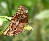 Mating butterfly — Stock Photo