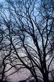 Tree sihlouette at dusk — Stockfoto