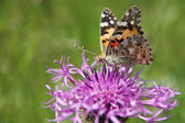 Butterfly - Painted Lady (Vanessa cardui) — Stock Photo