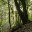 Forest in the morning sun beams — Stock Photo