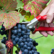 Hand cutting grape — Stock Photo #14534645