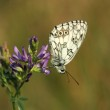 Butterfly - Marbled White (female) — Stock Photo #15645129