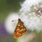 Постер, плакат: Butterfly Heath Fritillary Mellicta athalia