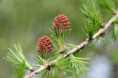 New larch cone in spring — Stock Photo
