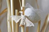 Silk Moth on Cocoon — Foto Stock