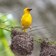 Weaver bird — Stock Photo