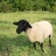 Royalty-Free Stock Photo: Black-faced sheep