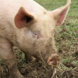 Stock Photo: Farm animal - pig